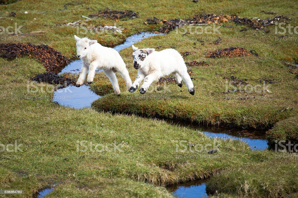 flying lambs stock photo