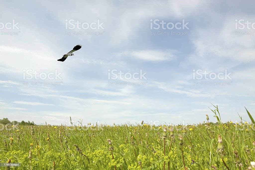 Flying lapwing royalty-free stock photo