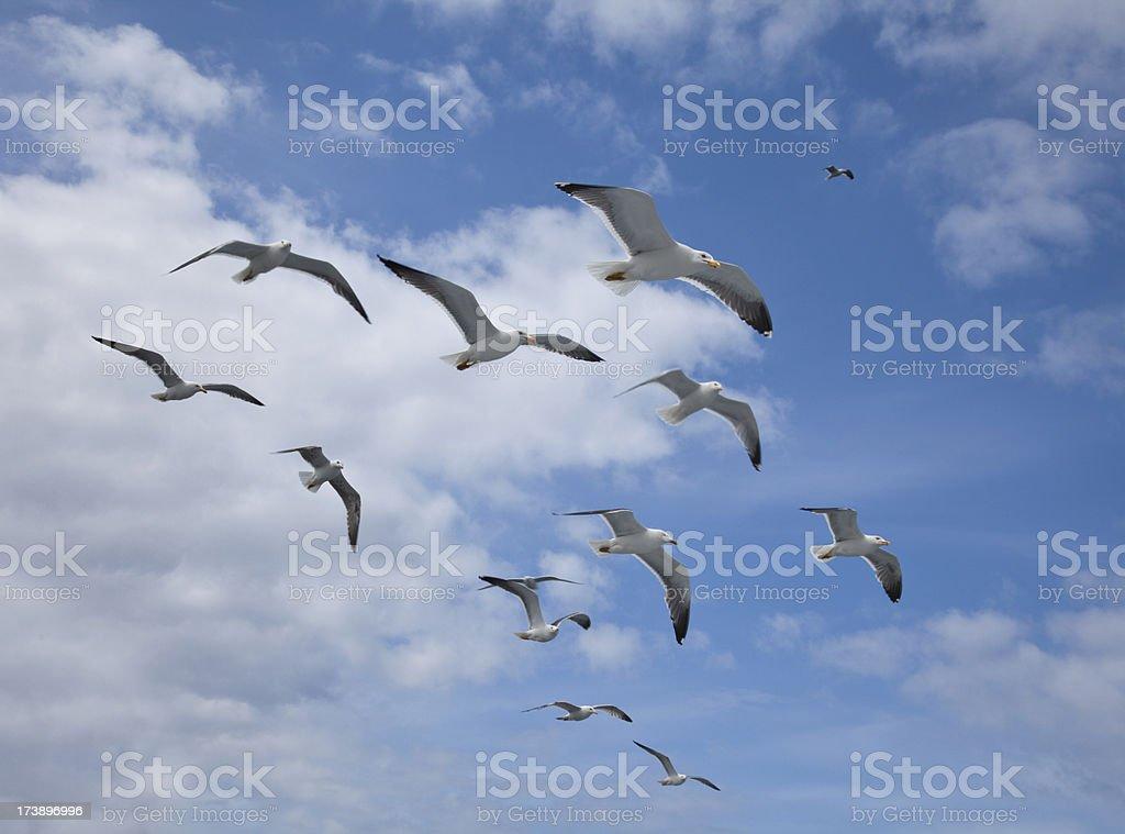 Flying Lesser Black-backed Gull flock against the sky royalty-free stock photo