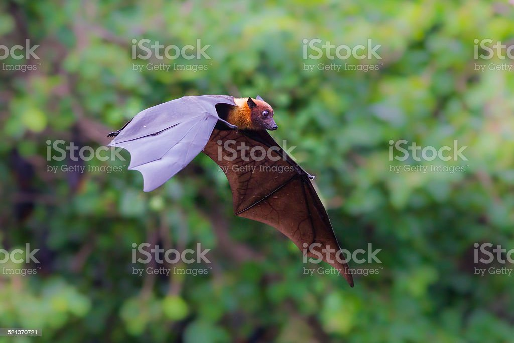 Flying Lyle's flying fox (Pteropus lylei) stock photo