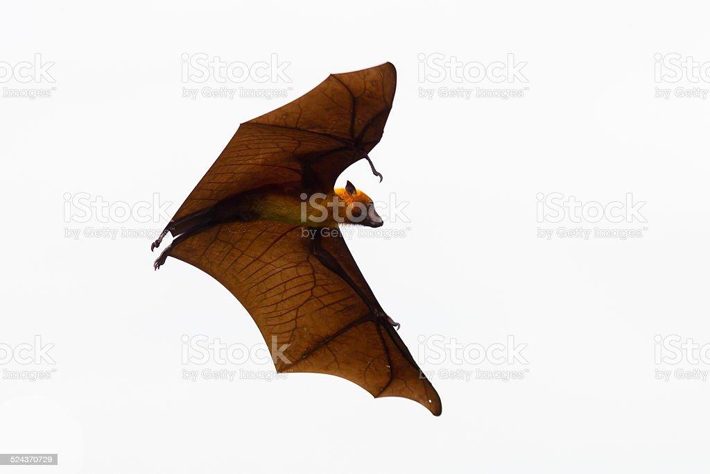 Flying Lyle's flying fox (Pteropus lylei) stock photo