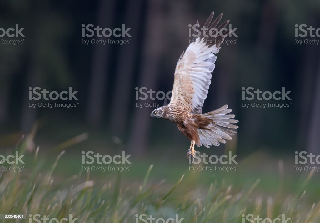 Flying male western marsh harrier (Circus aeruginosus) with mouse. stock photo