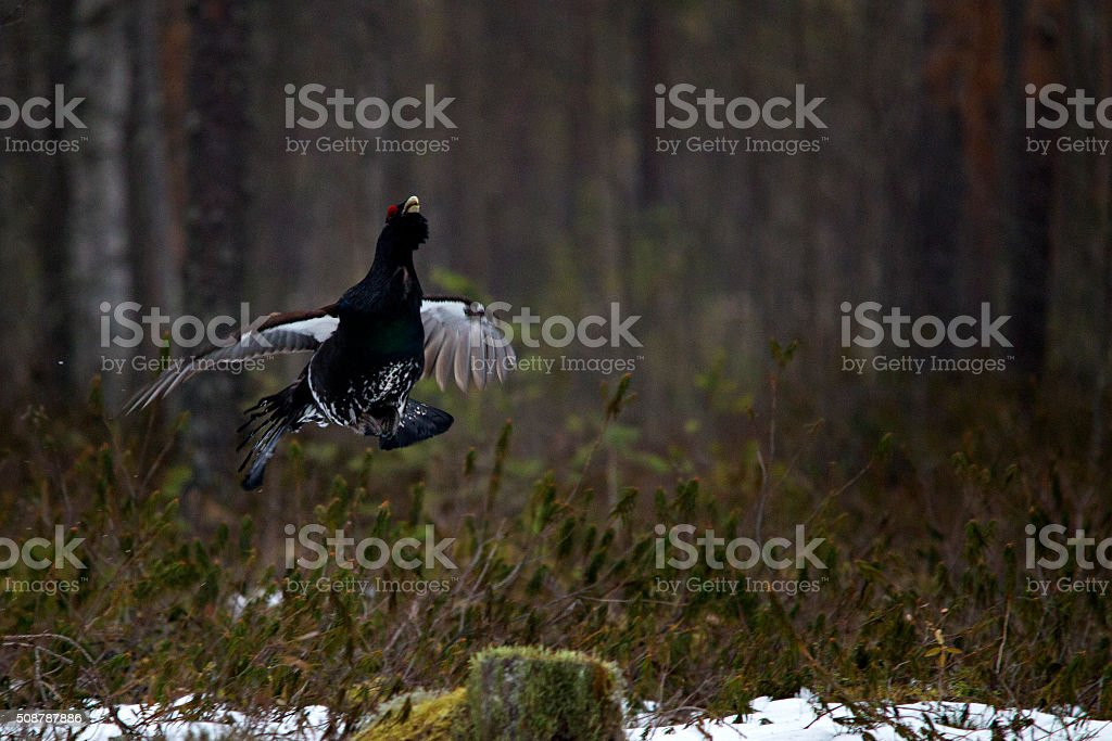 Flying Male Wood Grouse stock photo