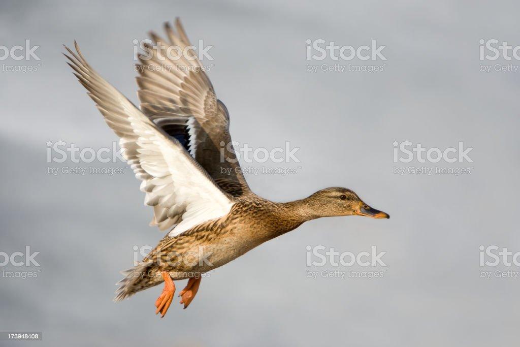 Flying Mallard Duck stock photo