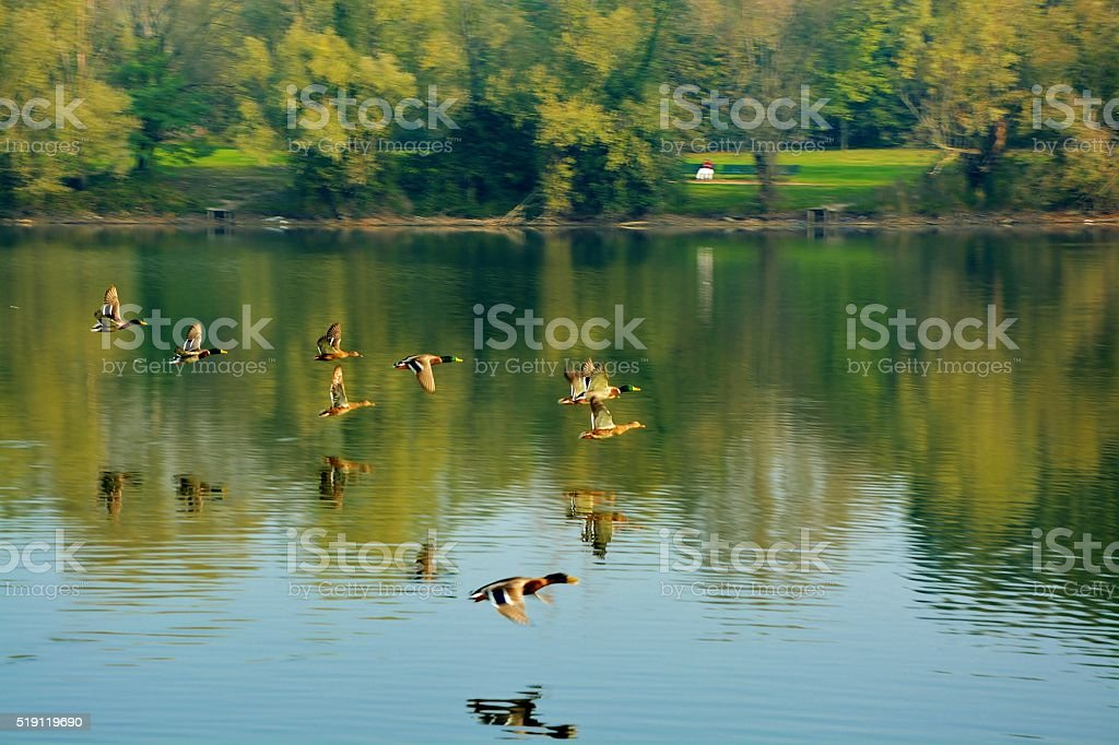 Flying Mallard Ducks stock photo