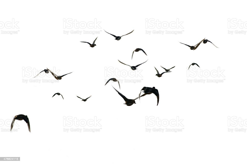 Flying mallards isolated stock photo