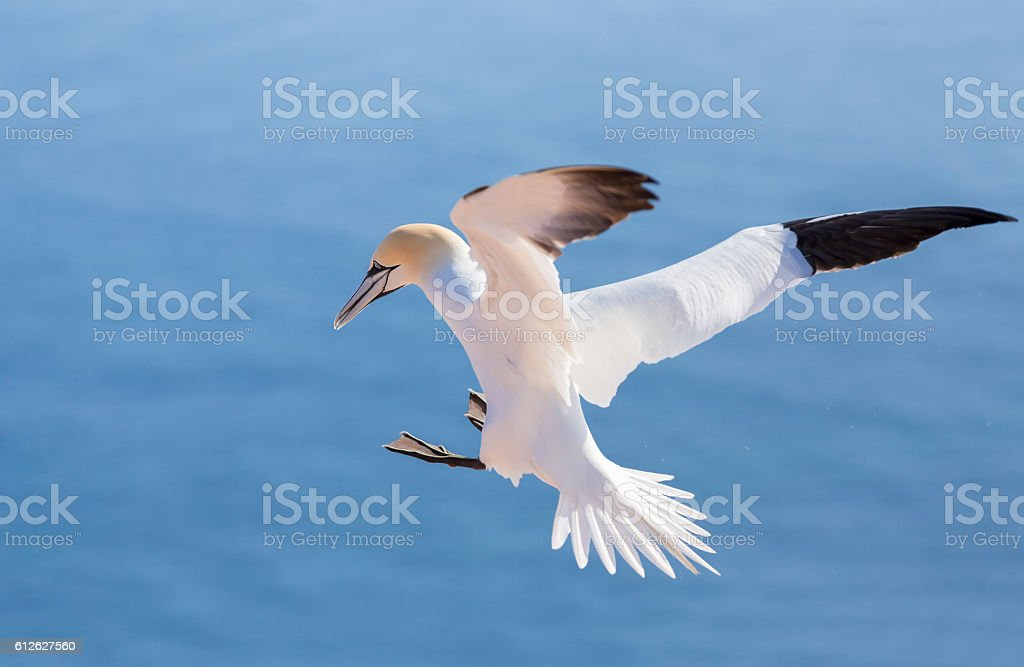flying northern gannet, Helgoland Germany stock photo