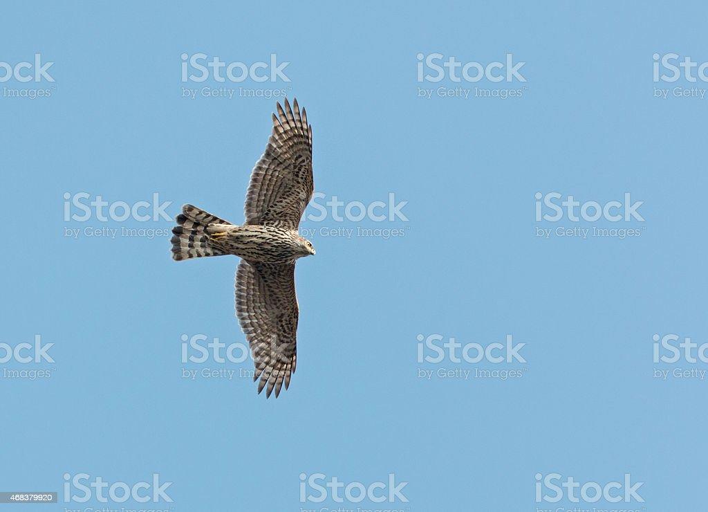 Flying Northern goshawk (Accipiter gentilis) stock photo