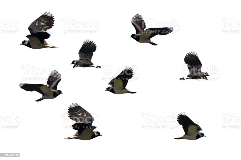 Flying northern lapwing isolated stock photo