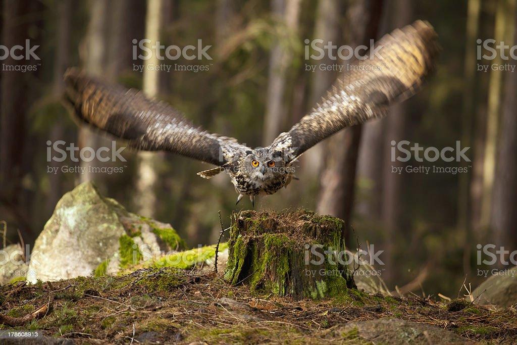 flying owl stock photo