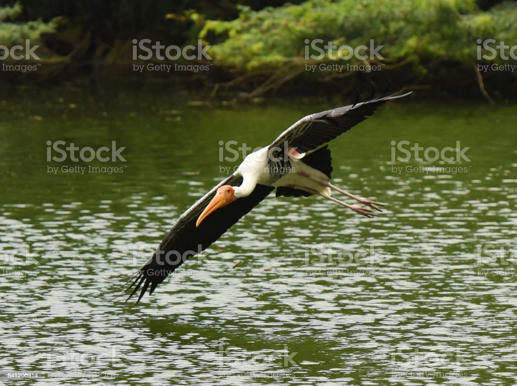 A flying painted stork stock photo