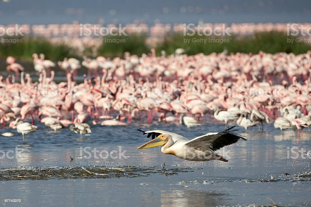 Flying pelican at Nakuru National Park stock photo