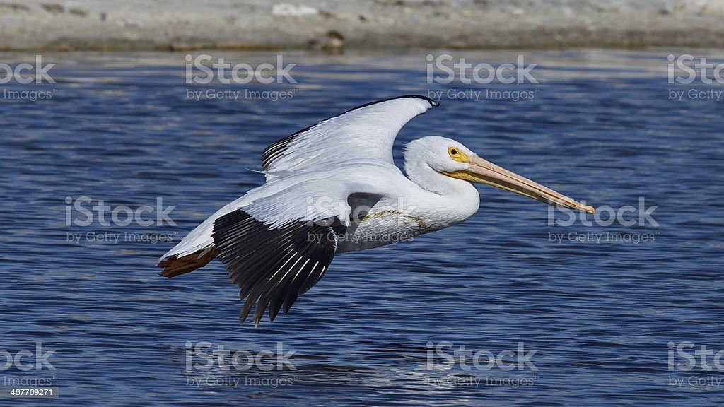 Flying Pelican Close-up stock photo