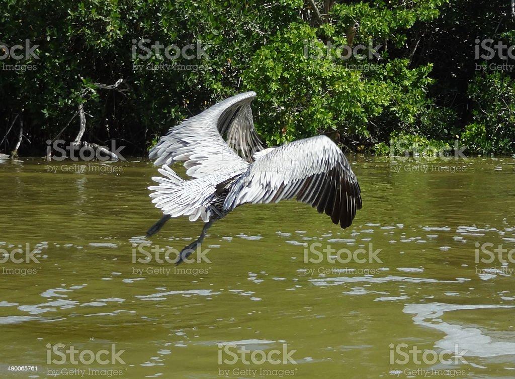 flying Pelican stock photo