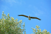 Flying pelican with blue sky background
