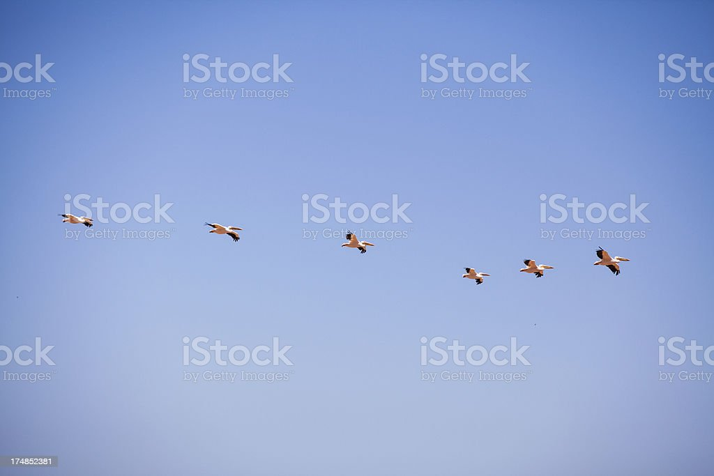 Flying pelicans royalty-free stock photo