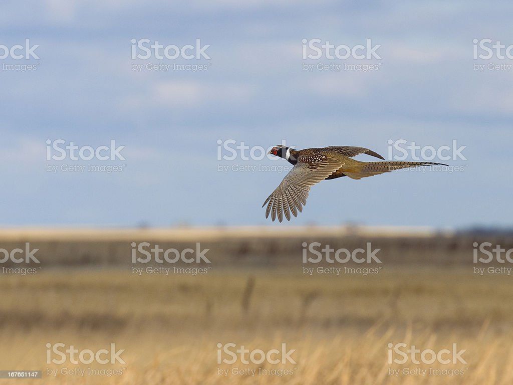 Flying Pheasant stock photo