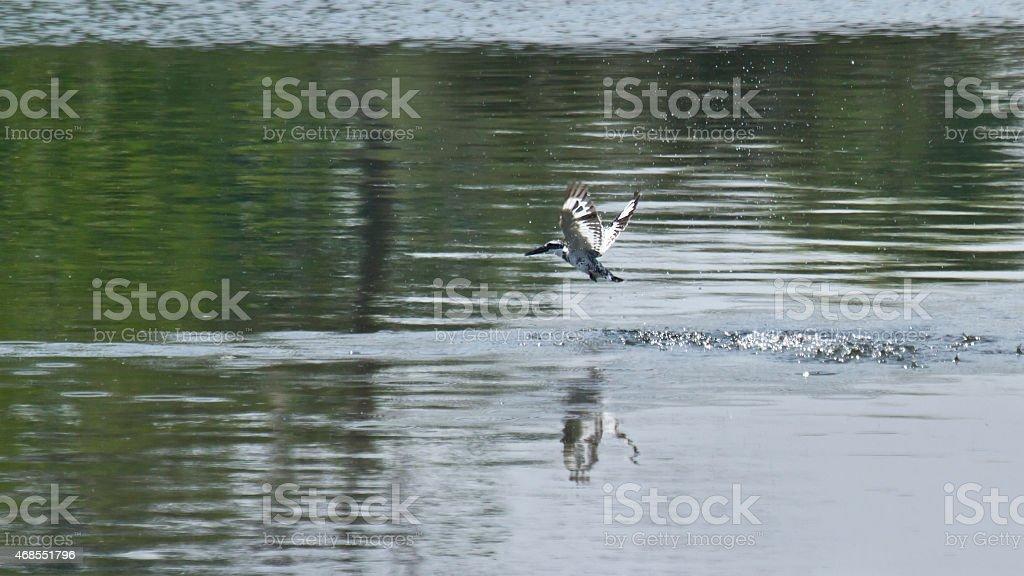 Flying pied kingfisher in Bardia, Nepal stock photo