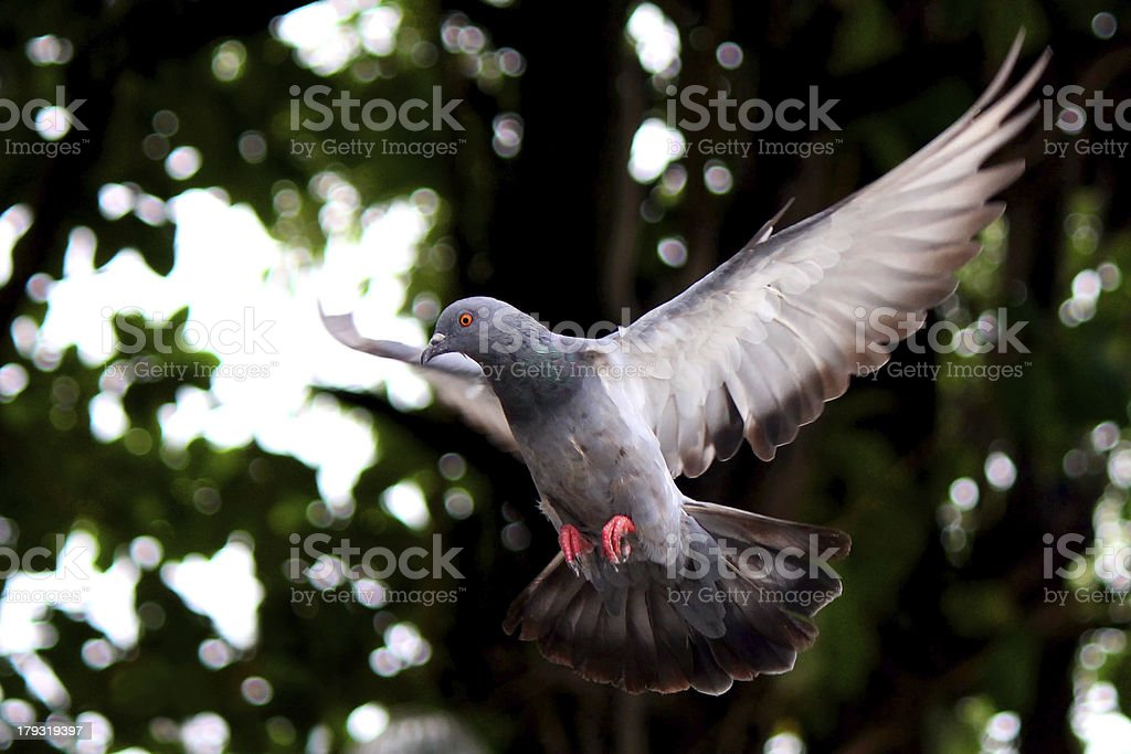 Flying pigeon in the natural stock photo