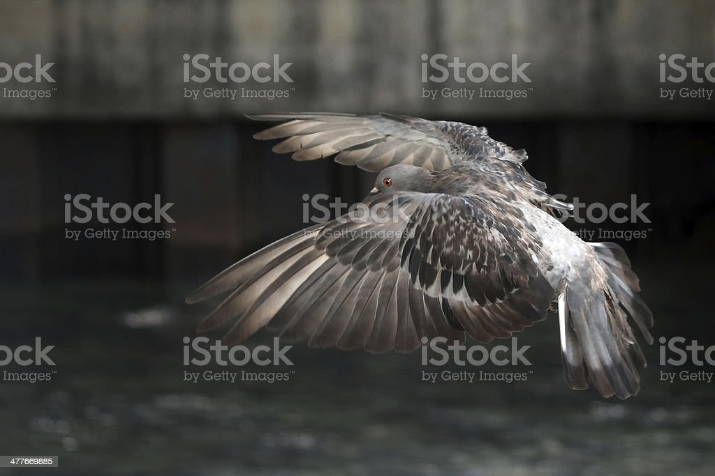Flying pigeon in the natural royalty-free stock photo