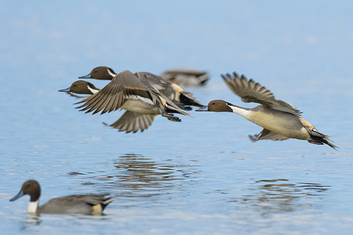 Pintail Duck Pictures, Images and Stock Photos - iStock