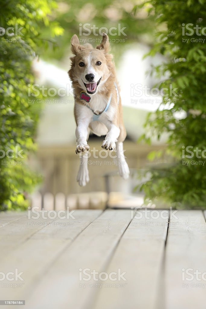 Flying Pooch royalty-free stock photo