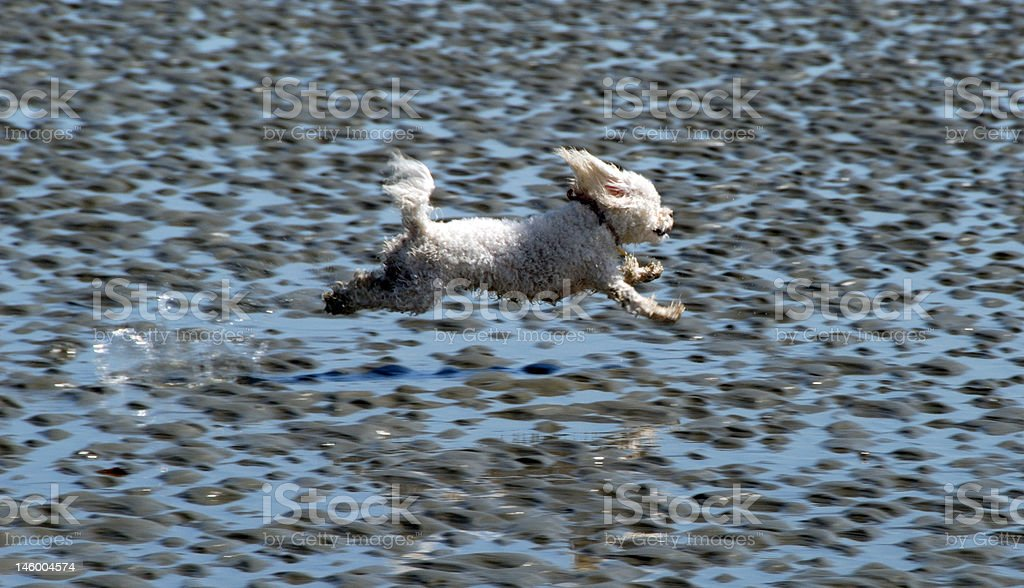 Flying poodle stock photo