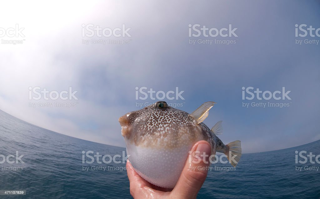 Flying Puffer stock photo