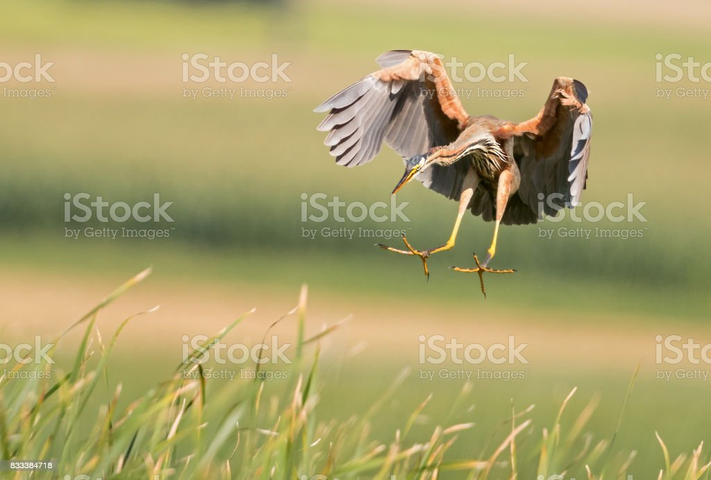 Flying purple heron (Ardea purpurea) stock photo