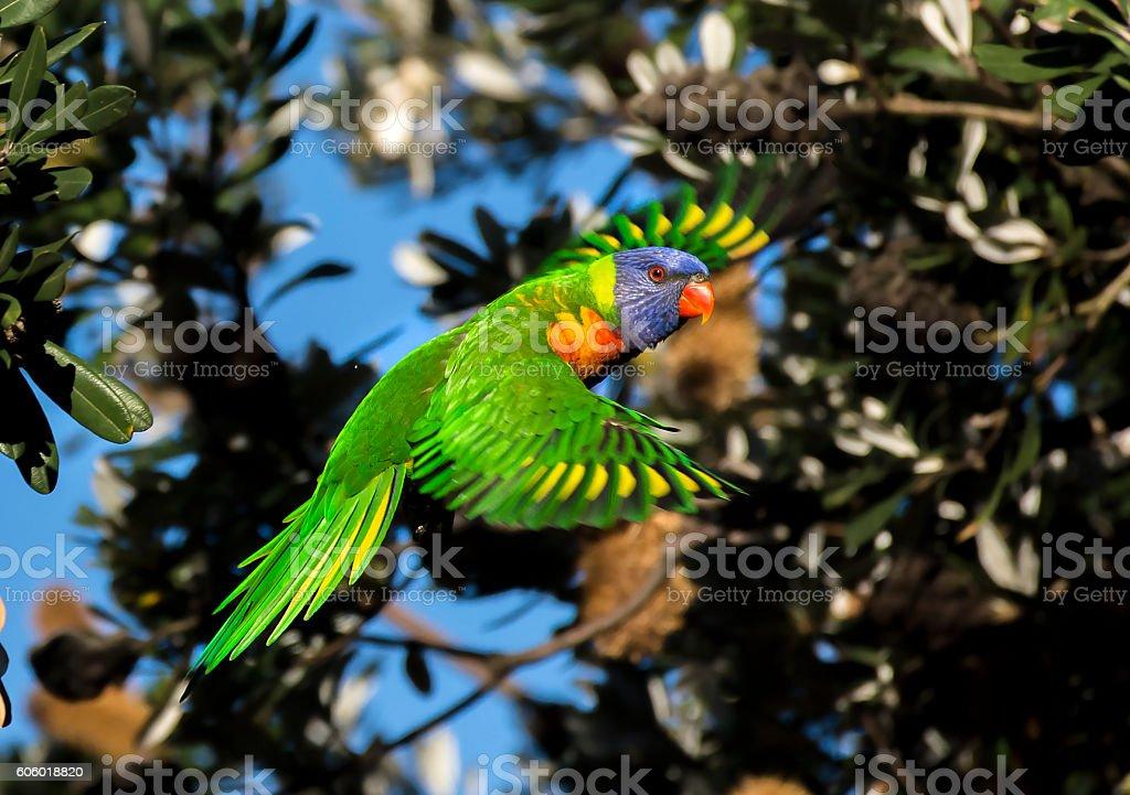 Flying Rainbow lorikeet stock photo