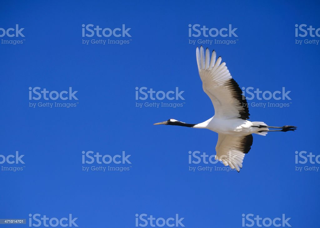 Flying red-crowned crane. stock photo