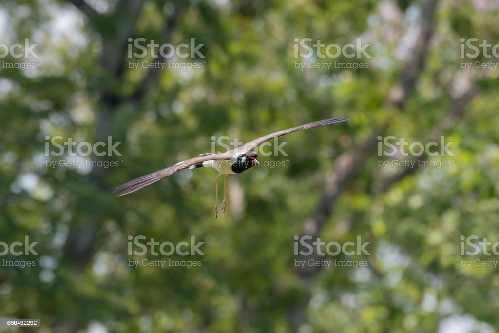 Flying Red-wattled Lapwing stock photo