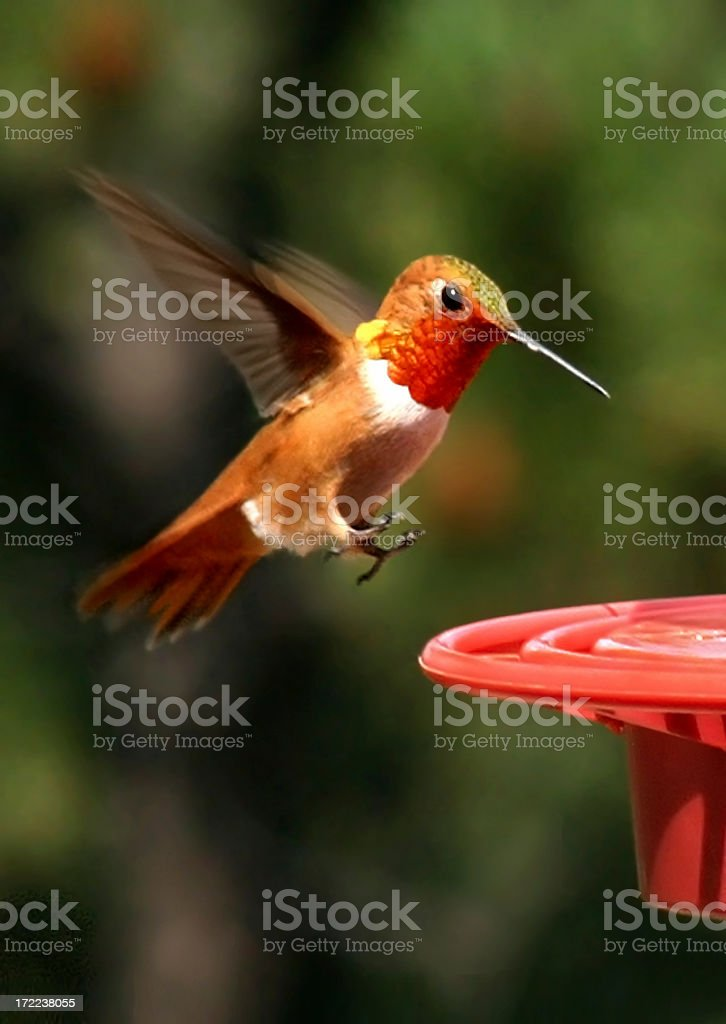 Flying Rufous Hummingbird royalty-free stock photo