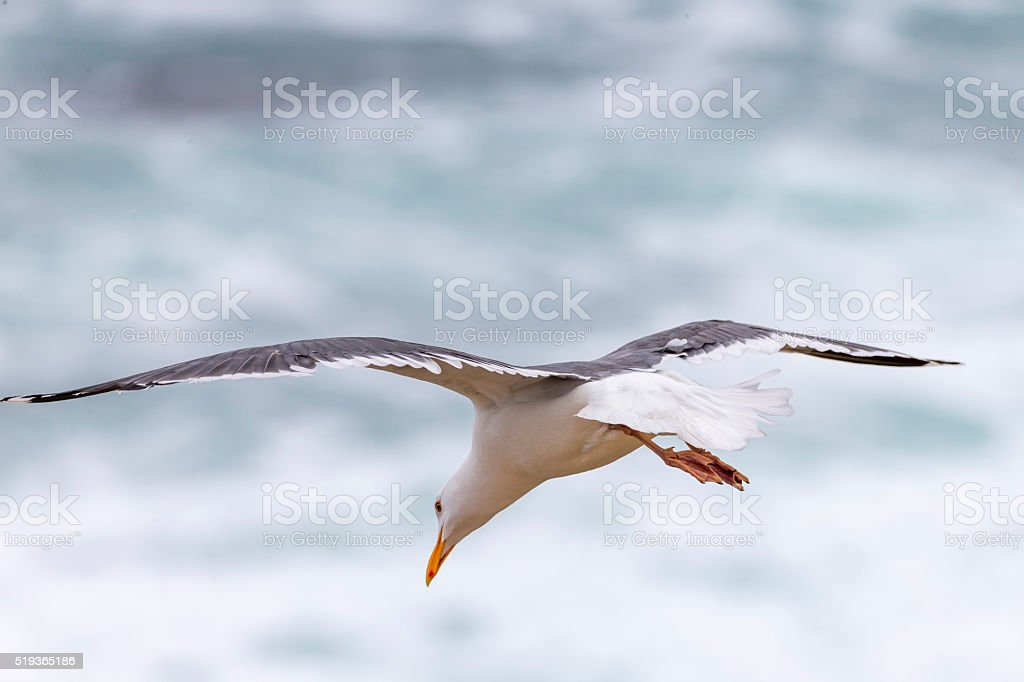 Flying Seagull at Point Reyes National Seashore, California stock photo