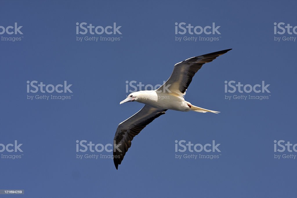 flying seagull at sky background stock photo