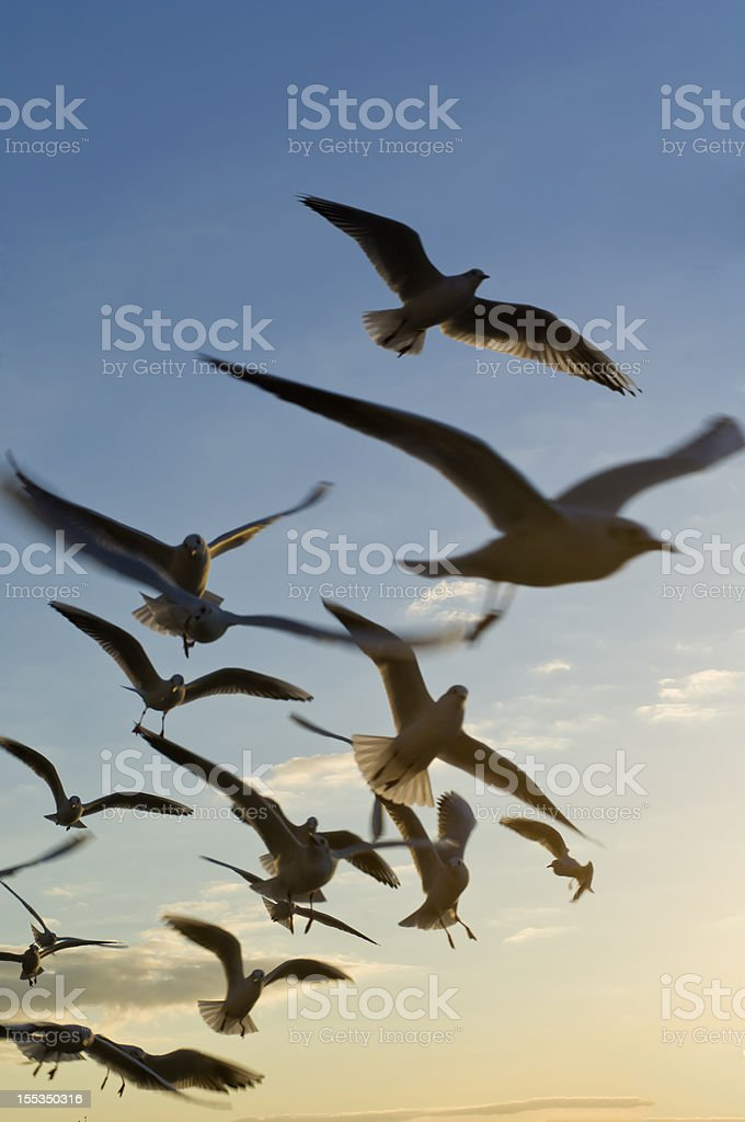 Flying seagull birds in the sky stock photo
