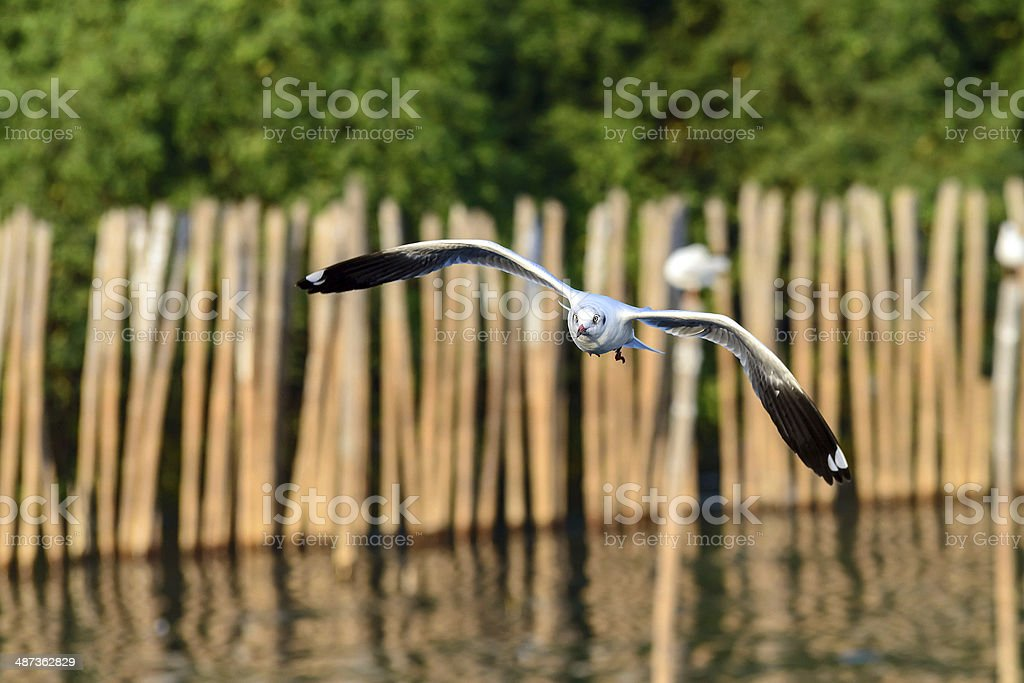 flying seagull in action royalty-free stock photo