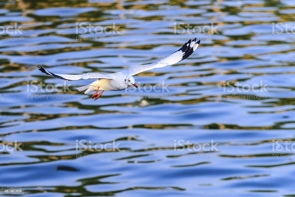 flying seagull in action stock photo