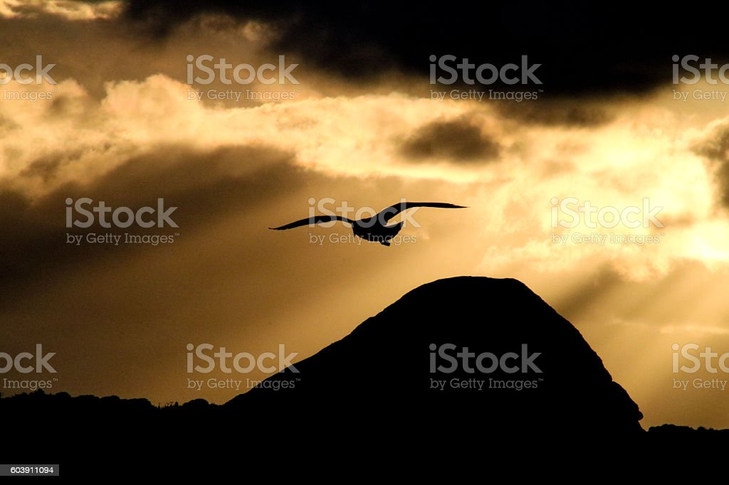 Flying seagull lighted by the sunset stock photo