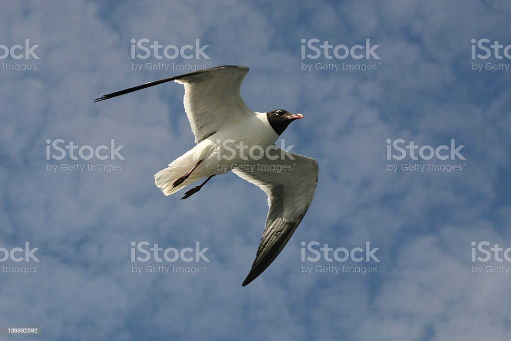 Flying Seagull royalty-free stock photo