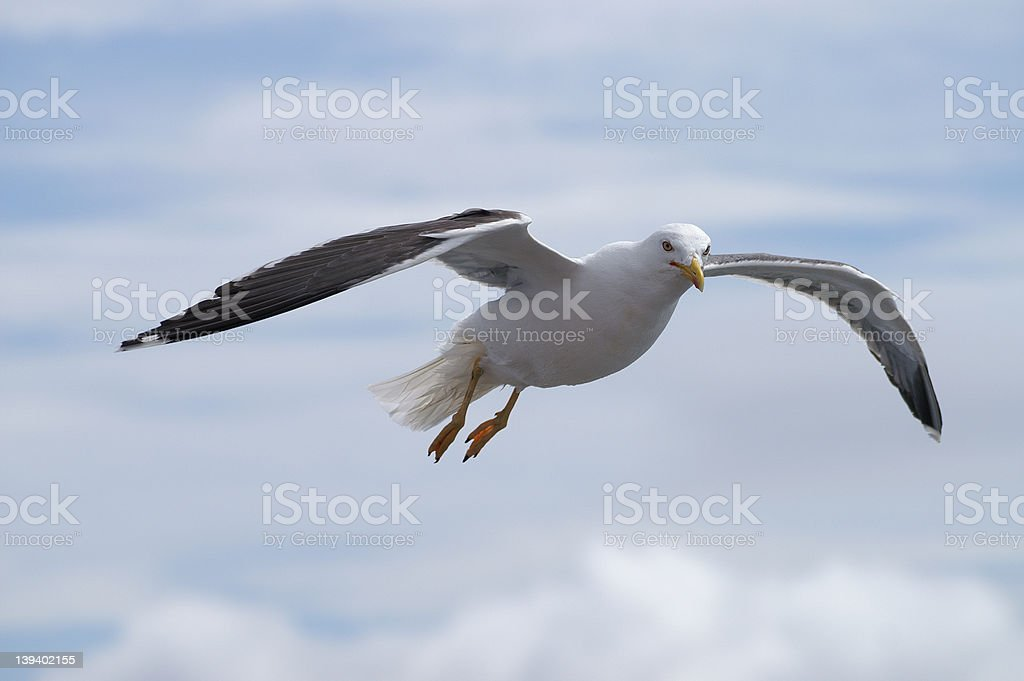 Flying Seagull (path included) stock photo