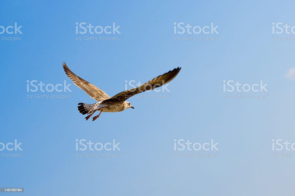 Voando gaivota. foto royalty-free