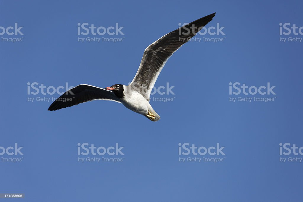 'Flying Seagull, Red Sea White-eyed Gull' stock photo