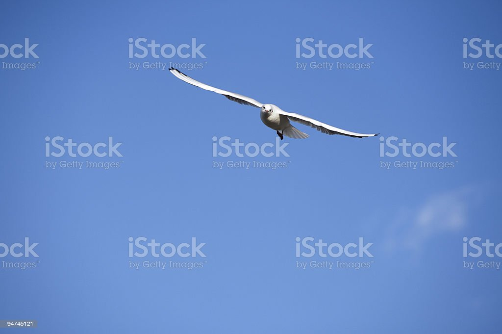 Flying Seagull wide open stock photo