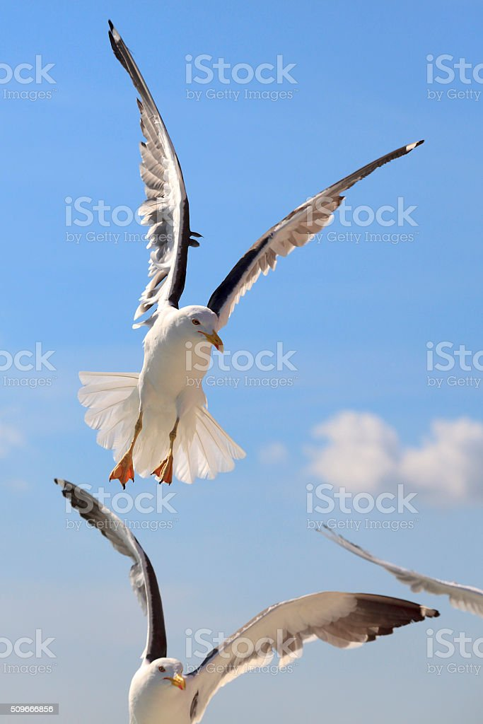 flying seagulls above the sea stock photo
