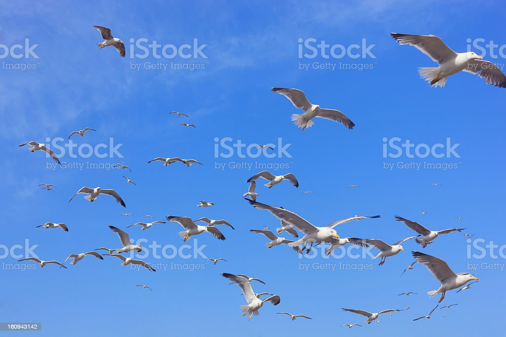 Flying seagulls against blue sky. royalty-free stock photo