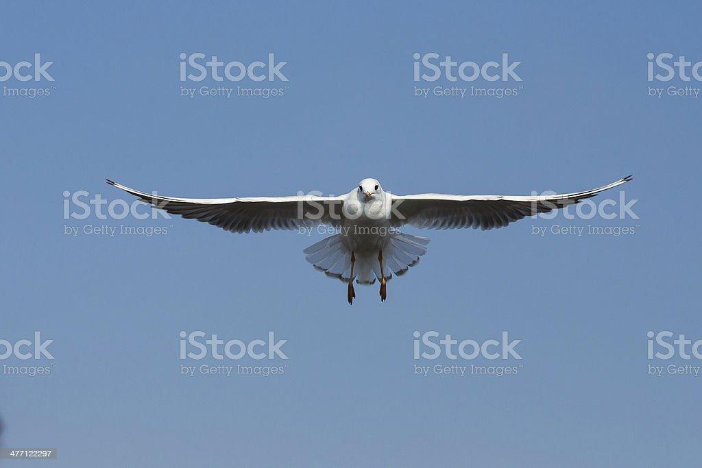 flying seagulls in action at Bangpoo Thailand royalty-free stock photo