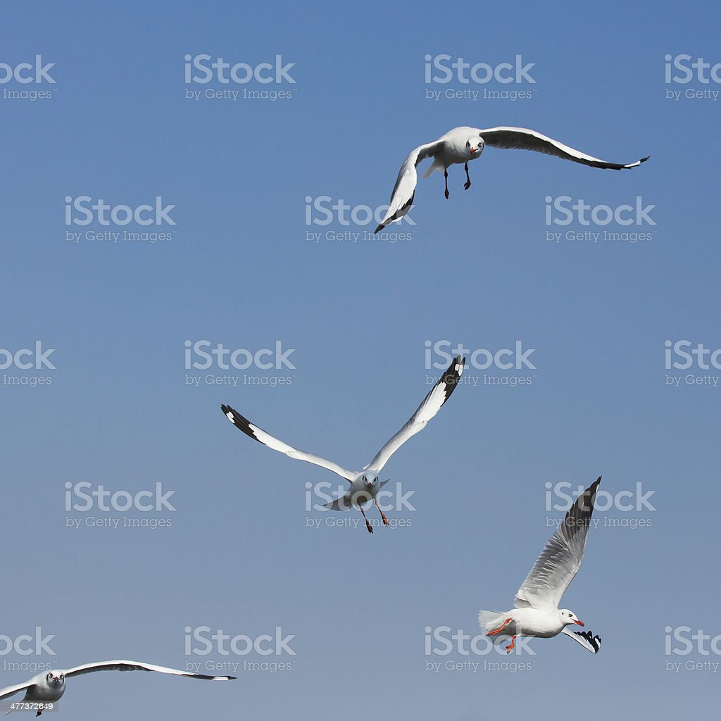 flying seagulls in action at Bangpoo Thailand royalty-free stock photo