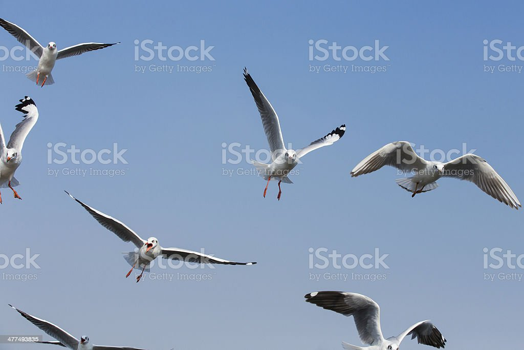 flying seagulls in action at Bangpoo Thailand stock photo