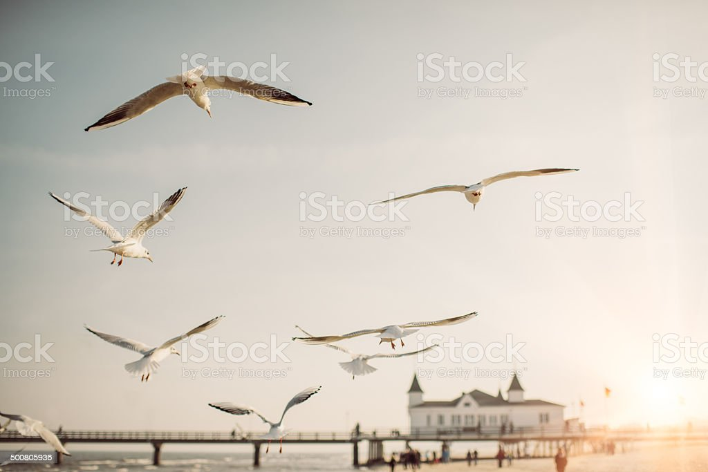 A flock of seagulls with a pier at the baltic sea